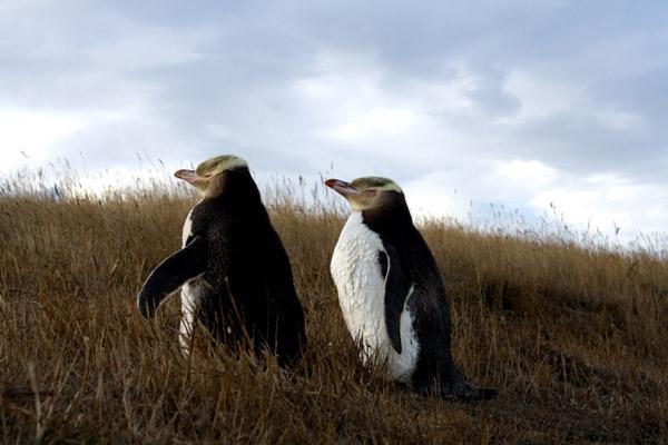 Tučňáci žlutoocí